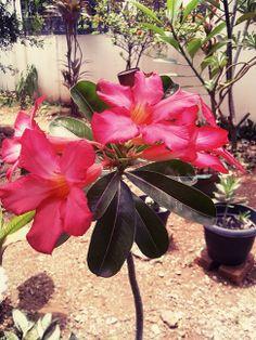 Bunga Kamboja (Plumeria)