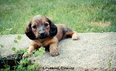 Dachshund puppies available at discounted holiday price through July 5th. Rockford Michigan