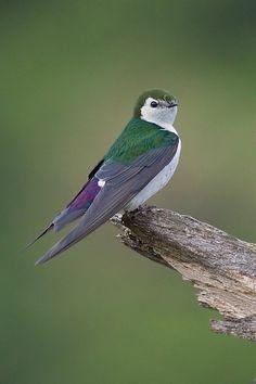 ☀Violet-green Swallow by Sivaprasad Radhakrishnan on 500px