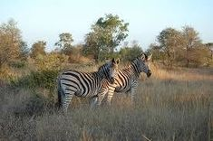 Burchell's zebra in Kruger National Park, South Africa Kruger National Park Safari, National Parks, African Wild Dog, Game Reserve, Wild Dogs, Large Animals, Wild Animals, Wonders Of The World, Adventure Travel