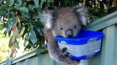 adorable thirsty koala