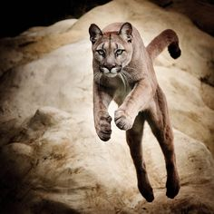 Leaping Puma by pixelstate, via Flickr