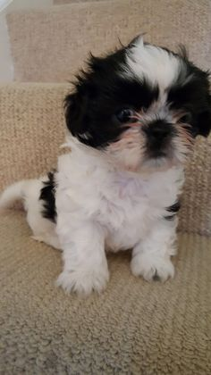 Shih Tzu X Brindle Jack Doncaster South Yorkshire Pets4homes