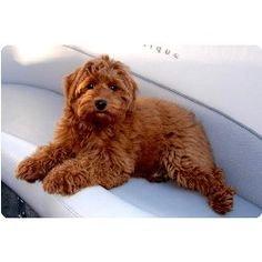 Labradoodle.  It is like a real, live teddy bear.  Can't help it.  They are so cute.  Abram won't let me.