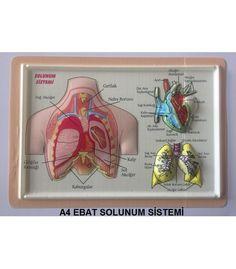 ab03853d676aa A4 EBAT ANATOMİ KABARTMA (PVC) KAPLAMA Anatomi Levhaları Seti anatomi  iskeletleri ve kabartma anatomi