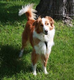 Lilli ~ Irish Wind English Shepherds such a classic English Shepherd stance Collie Mix, Rough Collie, Collie Breeds, Dog Breeds, English Shepherd, Shepherd Dogs, Welsh Sheepdog, I Love Dogs, Adorable Dogs