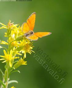 Loistokultasiipi - perhonen kesä päivä loistokultasiipi koiras Lycaena…