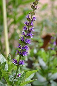 Gartensalbei Salvia nemorosa 'Ostfriesland'