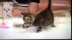 """えてぃか 〜The only one〜 on Twitter: """"志村どうぶつ🐶園🐱 「メチャメチャ可愛いですね💕ずっと出来ます💕これ、永遠✨」 猫じゃらしで猫と戯れるかたも、十分可愛いい…ですよ… #daisuketakahashi #高橋大輔 https://t.co/n3CI4jBfqx"""""""