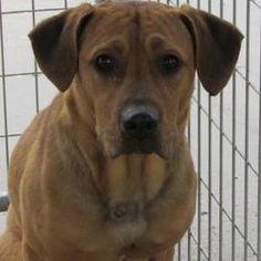 West Memphis, Arkansas - Labrador Retriever Mix. Meet Karl, a for adoption. https://www.adoptapet.com/pet/21465952-west-memphis-arkansas-labrador-retriever-mix