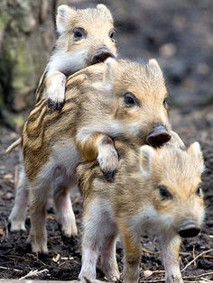 Wild boar piglets in Germany All Gods Creatures, Cute Creatures, Beautiful Creatures, Animals Beautiful, Cute Baby Animals, Farm Animals, Animals And Pets, Funny Animals, Wild Boar