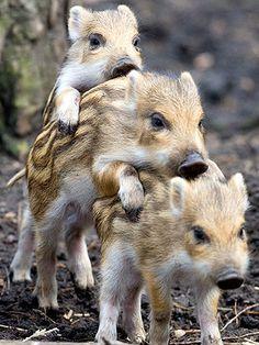 Boar Piglets in Germany: Photo