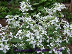 Lunaria annua, kendt under det danske navn Judaspenge er en kortlivet staude, du endelig ikke må glemme at indføre i din have. Den blom...