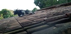 Boi 'passeia' por telhado de casa no interior de Minas Gerais