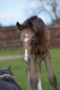 Fohlen 2016 - Riverside Curly Horse Ranch - Europa's größte Curly Zucht