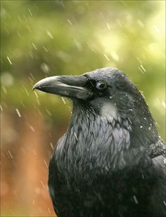 common raven in the rain, blue eyes, uncredited
