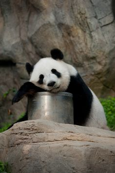 Panda at Ocean Park, Hong Kong | by londondesigner.com