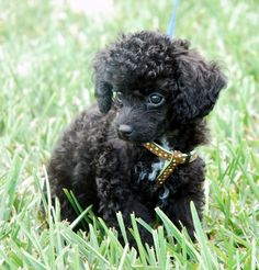 photographs of miniture poodles | Directory of Dogs : Dog Dictionary - reference guide to toy breed dogs