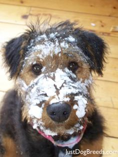 Ainsley is a 6 month Airedale who loves to romp in the snow!