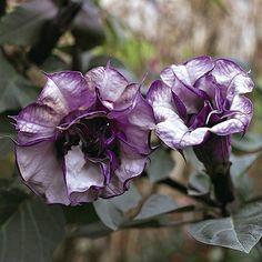 Angel's trumpet Black Currant Swirl Datura  - garden seeds - annual flower seeds