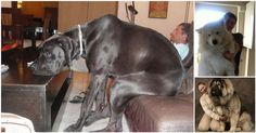 23 Gigantic Dogs Who Think They're Still Lap Dogs | Diply