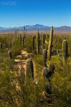 Saguaro National Park in Arizona.  Go to www.YourTravelVid... or just click on photo for home videos and much more on sites like this.