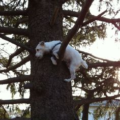 Yes he climbed that tree, no he could not get back down.