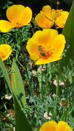 Bee in Golden Poppy
