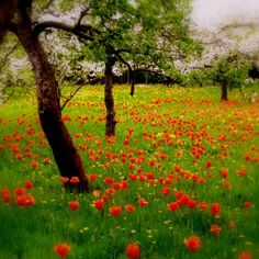 Pretty red Tulips in a field.
