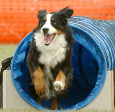 Bernese Mountain Dog how to teach and training.