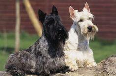 scottish terrier | Scottish+Terrier.jpg