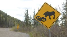 Moose and deer reportedly kill more people in North America than any other mammals, or at least they do when you total up drivers and passengers involved in animal collisions. Moose accidents, though less common than deer-related crashes, are the most likely to result in serious driving injuries or fatalities.  This sign is found on Grande Drive in Denali, AK.