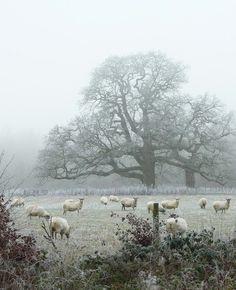 .sheep in fog