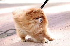 Pomeranian #windy