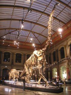 Naturkundemuseum_Brachiosaurus_brancai.jpg (1536×2048) - Nouvelle exposition avec à l'arrière plan Dicreaosaurus, en 2008. Dinosauria, Saurischia, Sauropodomorpha, Sauropoda, Macronaria, Brachiosauridae. Auteur : Axel Mauruszat, 2008.