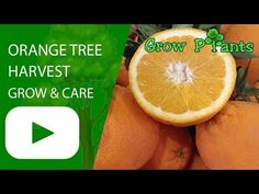 Orange tree - Learn how to grow Orange tree, plant information - climate, zone, uses, growth speed, water, light, planting & bloom