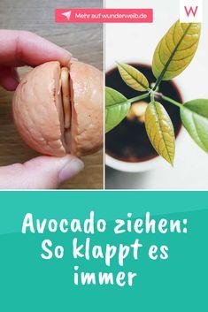 Avocado ziehen aus einem Kern – so klappt es! You want to draw your own avocado plant? Garden Care, Garden Soil, Vegetable Garden, Garden Plants, Plants Indoor, House Plants, Avocado Dessert, Planting Spinach, Avocado Toast