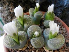 Lithops julii ssp. fulleri var. fulleri Fullergreen C 056A by Succulents Love, via Flickr