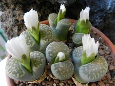 Lithops julii ssp. fulleri var. fulleri Fullergreen C 056A by Succulents Love, via Flickr