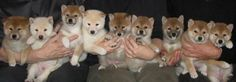 Shibas...how could you resist a face as cute as this?!