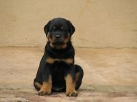 Gumtree Kusa Puppies Registered Rottweiler Gumtree Rottweiler