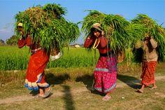 *Ramassage de l'herbe village Tharu Nepal (Philippe Guy) *