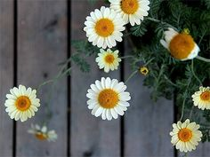 daisies are my favourite flowers