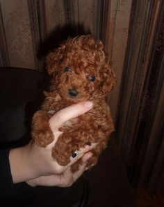 red toy poodles - Google Search