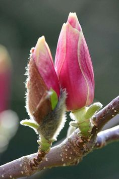 This magnolia bud is bursting into flower in the spring sunshine