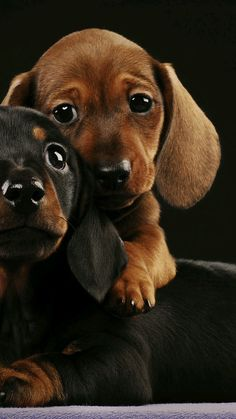 Pin by luve ur pet on dog love stories собака такса, собаки, Funny Dachshund, Dachshund Puppies, Dachshund Love, Cute Dogs And Puppies, Baby Dogs, Pet Dogs, Doggies, Dapple Dachshund, Cutest Dogs