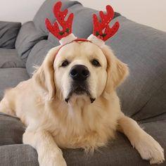 """BRAD - GOLDEN RETRIEVER no Instagram: """"Aqui em casa já estamos em modo natal, eu cá não resisti. 🌲🌲🌲"""" Labrador Retriever, Dogs, Animals, Instagram, Xmas, Labrador Retrievers, Animales, Animaux, Pet Dogs"""