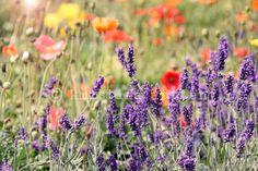 lavender & poppys