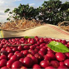 Harvest is in full swing at Volcano Coffees in Poços de Caldas, Brazil!
