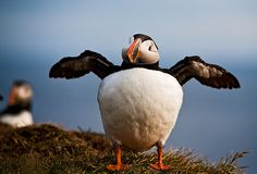 A puffin shows off some of his moves on Látrabjarg cliff in the Westfjords of Iceland.